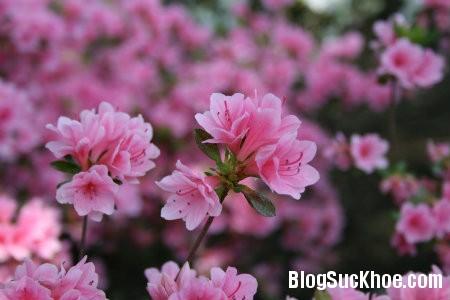 do quyen 6 loại hoa ngày Tết gây ảnh hưởng đến sức khỏe của bạn