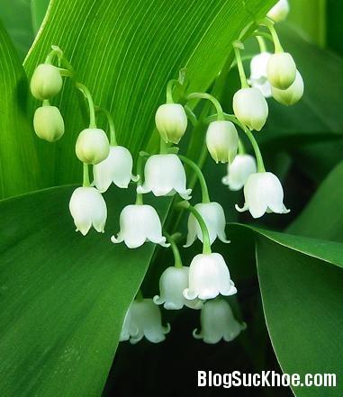 hoa chuong 6 loại hoa ngày Tết gây ảnh hưởng đến sức khỏe của bạn