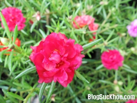 hoa Hoa mười giờ trị bỏng
