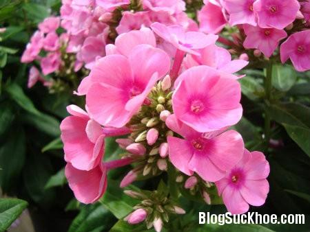 truc dao 6 loại hoa ngày Tết gây ảnh hưởng đến sức khỏe của bạn