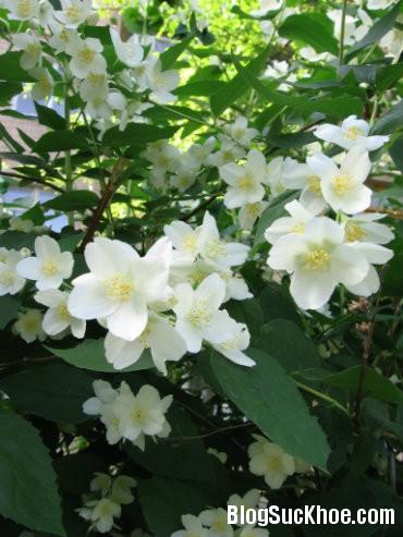 hoa nhài Công dụng chữa bệnh của hoa nhài