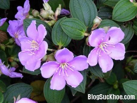 hoa mua Công dụng chữa bệnh từ hoa mua núi