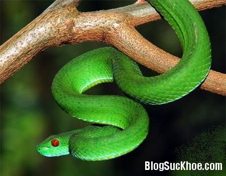 ran Cách dùng rắn lục xanh chữa bệnh