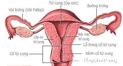 tu cung1 Dấu hiệu triệu chứng u xơ tử cung