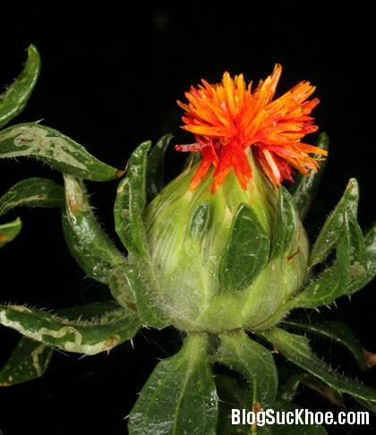 hong hoa Những bài thuốc giúp điều trị bệnh xơ vữa mạch vành