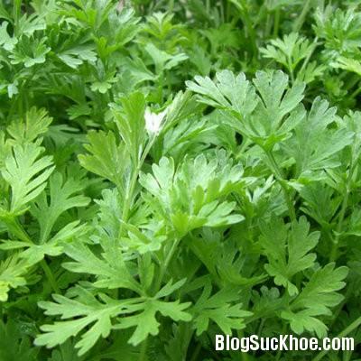 ngai cuu2 Chữa đau lưng với 5 loại cây cỏ dễ tìm