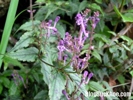 ban chi lien Bài thuốc bạch hoa xà liệt thảo và bán chi liên