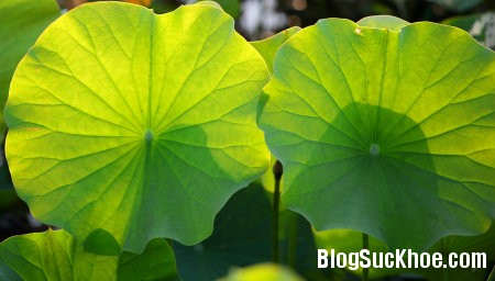 sen1 20 công dụng trị bệnh từ lá và hoa sen