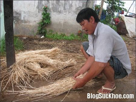 co tranh Rễ cỏ tranh làm thuốc chữa sỏi thận, viêm đường tiết niệu