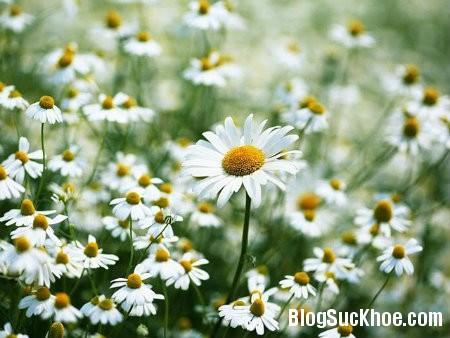 hoa cuc Một số loài hoa hỗ trợ điều trị tăng huyết áp