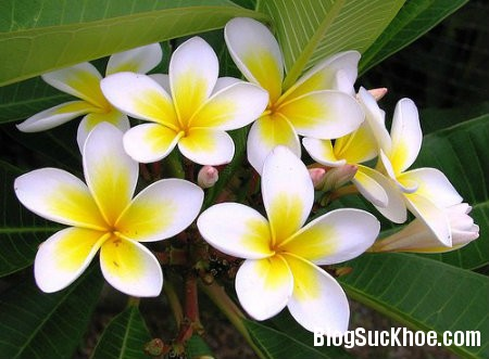 hoa dai Một số loài hoa hỗ trợ điều trị tăng huyết áp