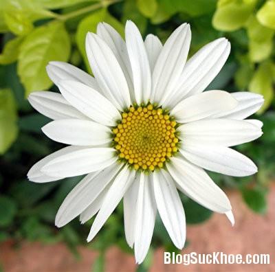 cuc Các loại hoa làm thuốc chữa đau đầu
