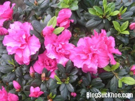do quyen Các loại hoa làm thuốc chữa đau đầu