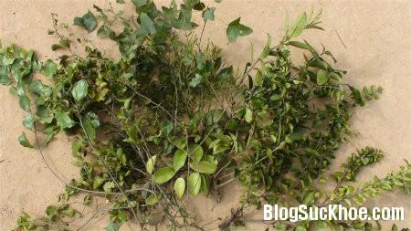 tam gui Công hiệu chữa bệnh từ cây tầm gửi