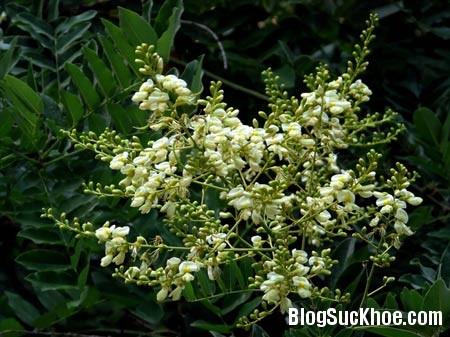 150 Cây hoa hòe chữa đau đầu khi thay đổi thời tiết