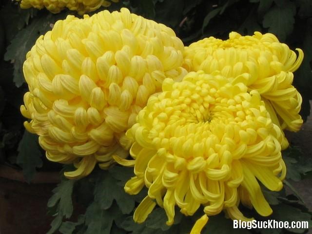 1384 Các bài thuốc hay trị ho bằng hoa