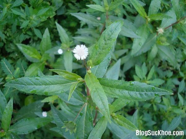 1462 Bài thuốc và công dụng của cây cỏ mực