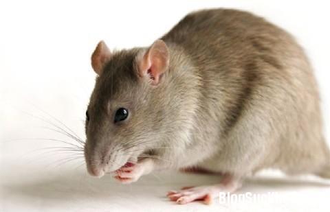 1131 Cách diệt chuột an toàn không cần đánh bả