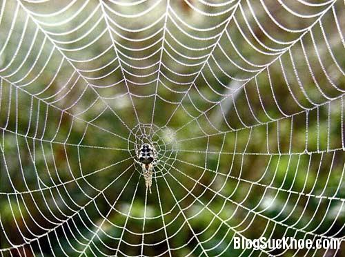1152 Bất ngờ với tác dụng chữa bệnh tim của tơ nhện