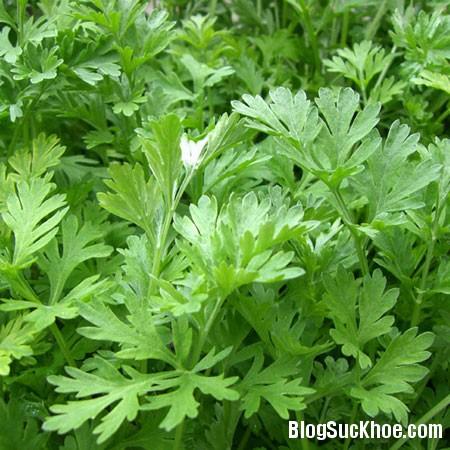 1237 Công dụng chữa bệnh phổ biến và hữu hiệu của cây và lá ngải cứu
