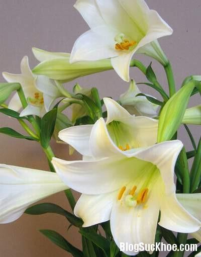 16 Dùng lá, hoa, quả chữa ho