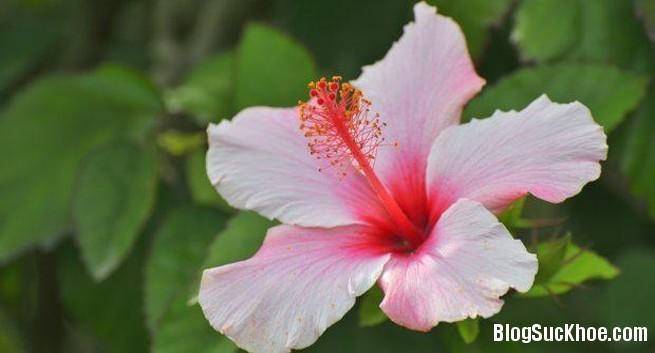 211 Làm đẹp và chữa bệnh với hoa dâm bụt