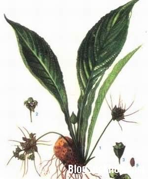 1194 Bài thuốc từ củ điền thất chữa táo bón, kinh nguyệt không đều