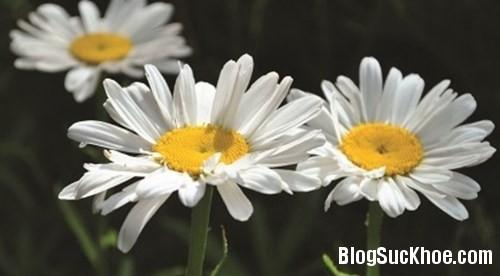 119 Y học cổ truyền dùng hoa cúc chữa bệnh