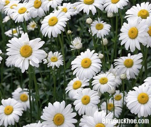 120 Y học cổ truyền dùng hoa cúc chữa bệnh