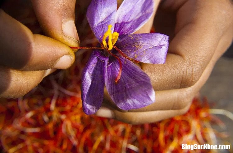 hoa nghe tay Nhụy hoa nghệ tây đem lại hi vọng cho người bệnh Alzheimer