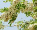 Bất ngờ khi biết hoa hòe có thể trị được nhiều bệnh