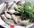 Bài thuốc chữa bệnh với cá diếc và một số điều cần lưu ý