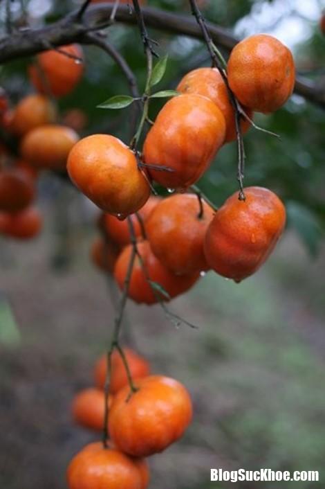020 1 ifgs Dân buôn hướng dẫn cách phân biệt cam canh trong nước và cam Trung Quốc