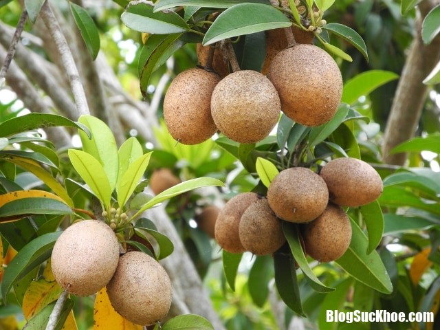 hong xiem 1 Những tác dụng tuyệt vời của trái hồng xiêm đối với sức khỏe