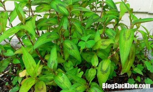 li do nha chat hep co nao cung nen trong cay rau ram Lí do nhà chật hẹp cỡ nào cũng nên để chỗ trồng cây rau răm